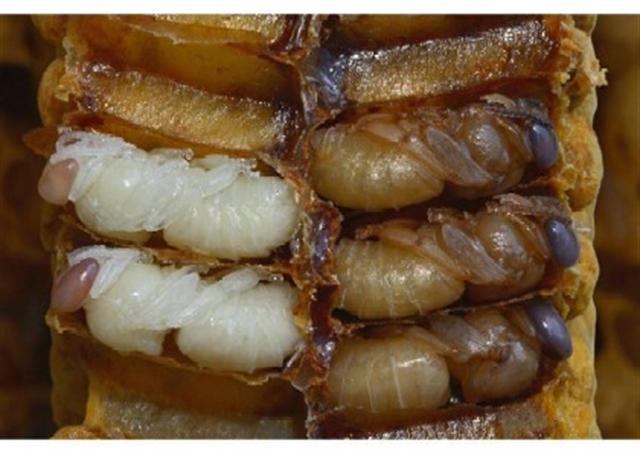 nombreuses larves de reine