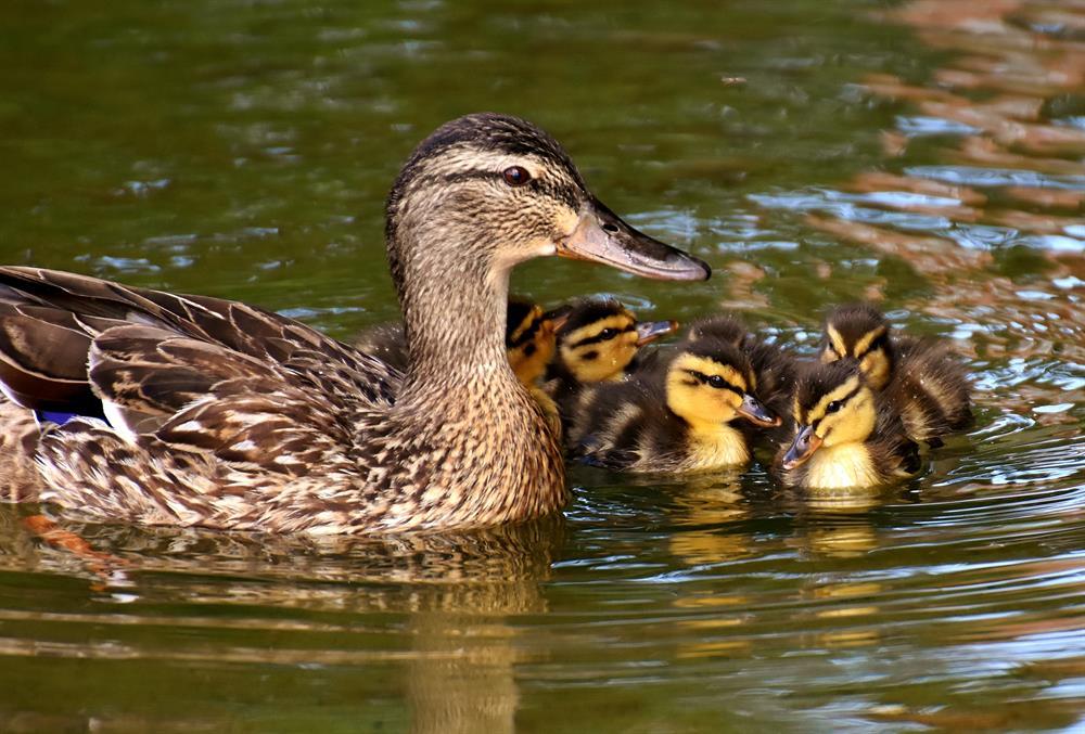 Famille canard dans le parc